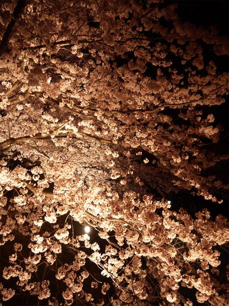 サンレイクかすやの夜桜 (9)