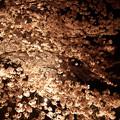 写真: サンレイクかすやの夜桜 (9)