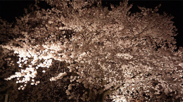 サンレイクかすやの夜桜 (11)