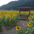道の駅原鶴のひまわり園@2015 (3)