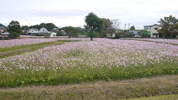 金立公園のコスモス@2017 (7)