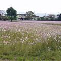 Photos: 金立公園のコスモス@2017 (3)