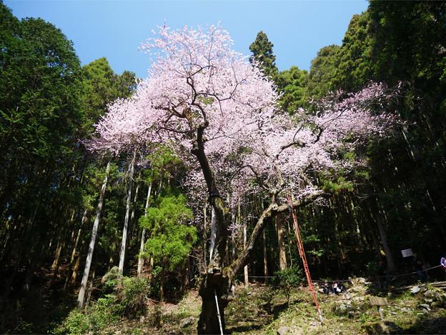 虎尾桜 (5)