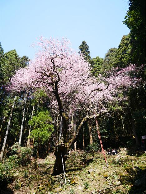 虎尾桜 (4)