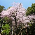 Photos: 虎尾桜 (2)