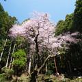 Photos: 虎尾桜 (1)