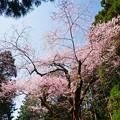 Photos: 虎尾桜 (11)