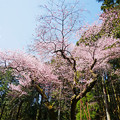 Photos: 虎尾桜 (10)