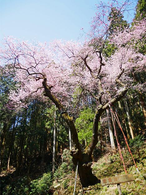 虎尾桜 (9)