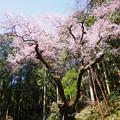 Photos: 虎尾桜 (9)