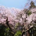 Photos: 虎尾桜 (8)