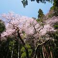 Photos: 虎尾桜 (7)