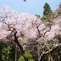 Photos: 虎尾桜 (6)