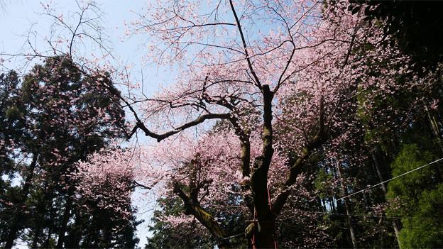 虎尾桜 (15)