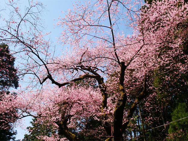 虎尾桜 (14)