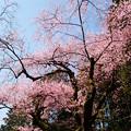 Photos: 虎尾桜 (14)