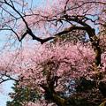 Photos: 虎尾桜 (13)
