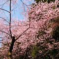 Photos: 虎尾桜 (12)