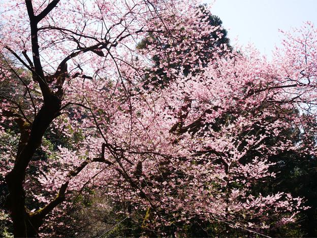 虎尾桜 (23)