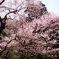 Photos: 虎尾桜 (23)