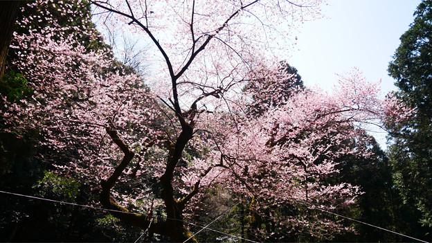 Photos: 虎尾桜 (22)