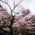 虎尾桜 (22)
