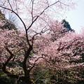 Photos: 虎尾桜 (21)