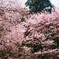 Photos: 虎尾桜 (20)