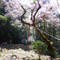虎尾桜 (19)