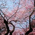 Photos: 虎尾桜 (18)