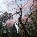 Photos: 虎尾桜 (16)