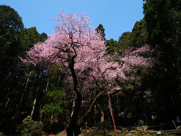 Photos: 虎尾桜 (33)