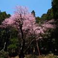 虎尾桜 (33)