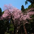 Photos: 虎尾桜 (32)