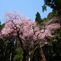 虎尾桜 (31)
