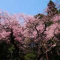 虎尾桜 (30)