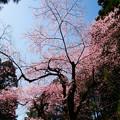 Photos: 虎尾桜 (29)