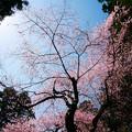 Photos: 虎尾桜 (28)