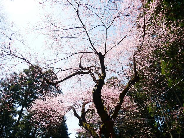 Photos: 虎尾桜 (27)