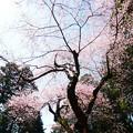 虎尾桜 (27)