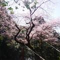 Photos: 虎尾桜 (25)