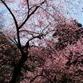 Photos: 虎尾桜 (24)