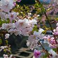 Photos: 益軒桜街道 (20)