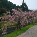 Photos: 益軒桜街道 (19)
