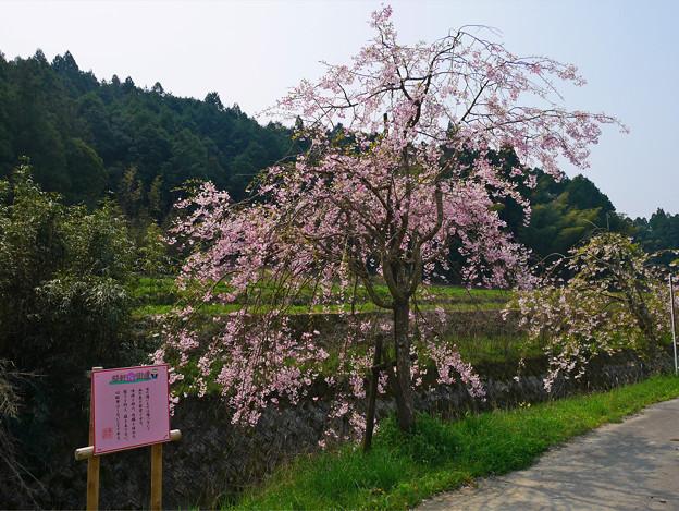 益軒桜街道 (17)