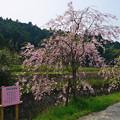Photos: 益軒桜街道 (17)