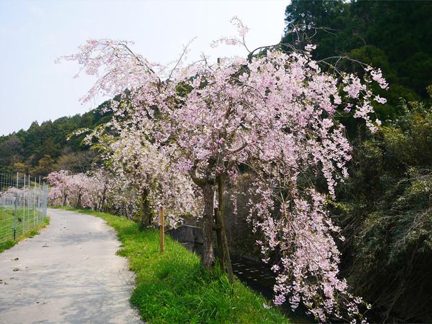 益軒桜街道 (15)