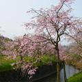 Photos: 益軒桜街道 (11)