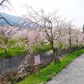 Photos: 益軒桜街道 (10)