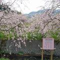 Photos: 益軒桜街道 (9)